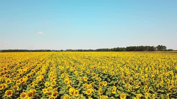 Thumbnail for Sunflowers Field on Sky Background