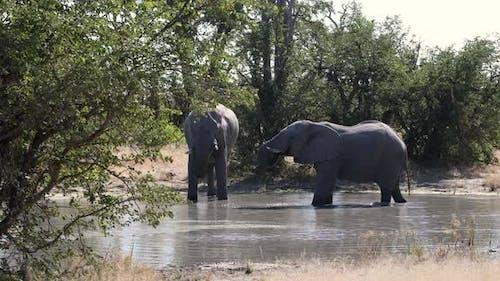 African Elephant in Chobe Botswana safari wildlife