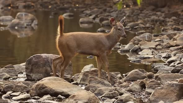 Cover Image for Sambar Rusa Unicolor Is a Large Deer Native To the Indian Subcontinent, South China