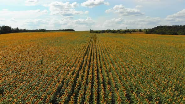 Thumbnail for Aerial Drone View of Sunflowers Field, Rows of Sunflowers on a Hill