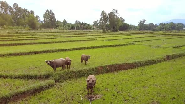Cover Image for Drone Rotates Above Buffaloes Pastured on Rice Plantations