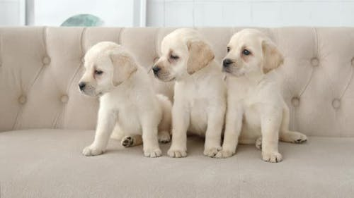 Portrait of labrador puppies on a sofa