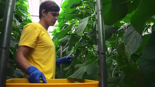 Man is Harvesting Cucumbers and Standing in Hydroponic Greenhouse Indoors Spbd