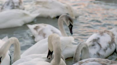 Big Group of Swans on the River