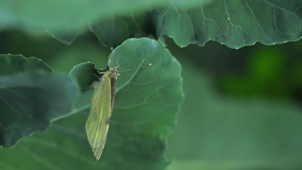 Thumbnail for Butterfly Laying Eggs on Green Leaf