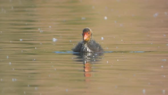 Red Faced Eurasian Coot Cub Swimming Alone in The Lake