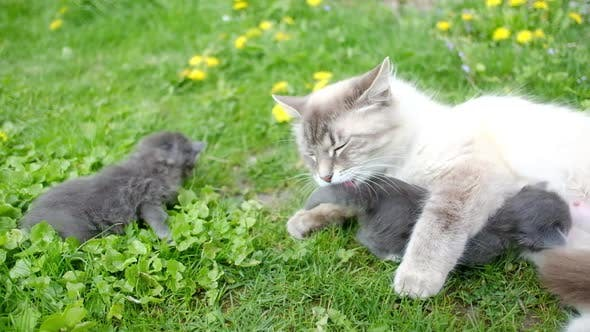 Thumbnail for Small Kittens with Mother