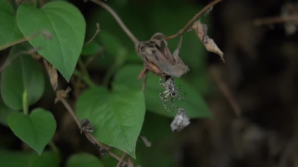 A Spider Eating Wrapped Prey