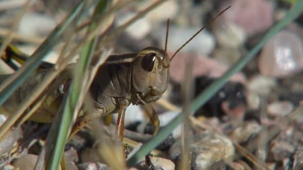 Thumbnail for Grasshopper Adult Lone in Autumn Face Eyes Antenna in South Dakota