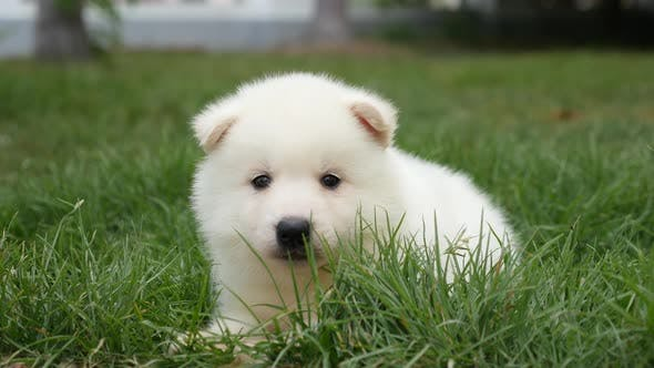 Close Up Of White Puppy Lying On Green Grass