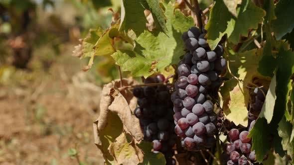 Thumbnail for Common grape vine fruit shallow DOF 4K 2160p 30fps UltraHD footage - Close-up of Vitis vinifera plan