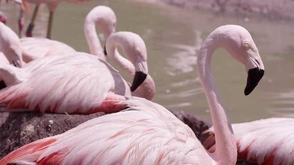 Flamingos roosting on nest in the hot sun