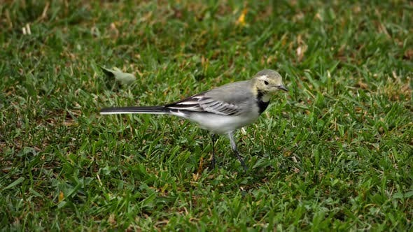 Cover Image for White Wagtail -Motacilla Alba- on Grass