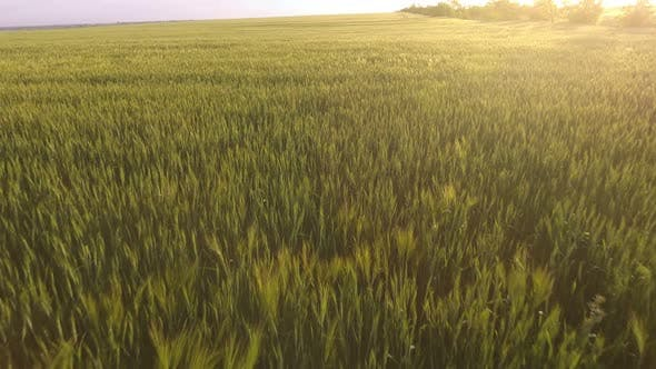 Thumbnail for Aerial of the Rural Green Wheat Field with Fluttering Spikelets at Glittering Sunset