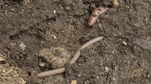 Thumbnail for Lumbricus terrestris Night Crawler earth worm 4K footage