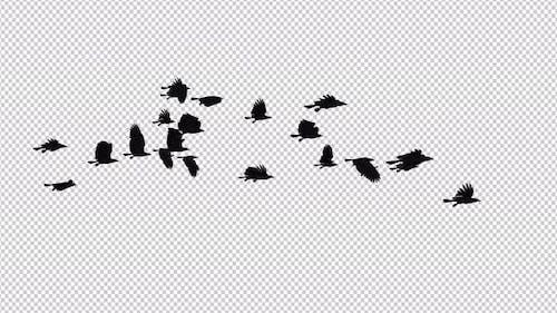 Raben Flock - 22 Vögel - Flying Loop II - 4K