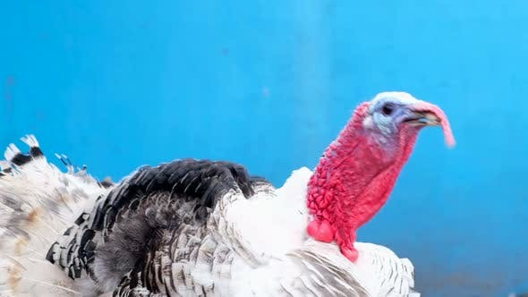 White Turkey on a Blue Background