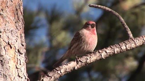 House Finch Male Adult Lone Perched in Autumn in South Dakota