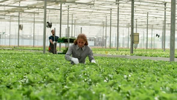 Thumbnail for Agronomist in a Greenhouse with Organic Green Salad