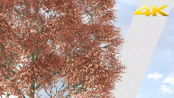 Cover Image for Red Oak Tree 4K