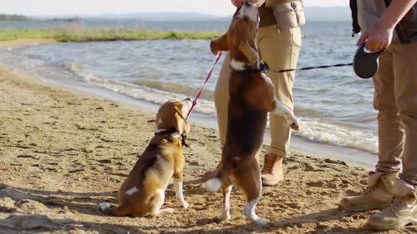 Thumbnail for Beagle Dogs Begging for Treats on Lakeshore