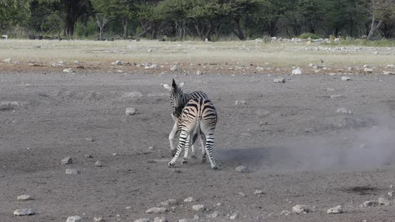Playful Zebra in bush, Namibia Africa wildlife