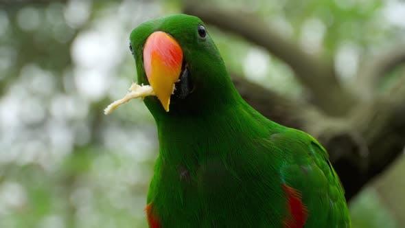 Thumbnail for Eclectus Parrot Eat Sugar Cane