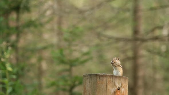 A Closeup of a Small Siberian Chipmunk with Cheek Pouches Stuffed with Food Stands on Its Hind Legs