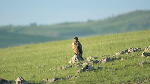 Wild Eagle Perched Stone in Vast Green Meadow