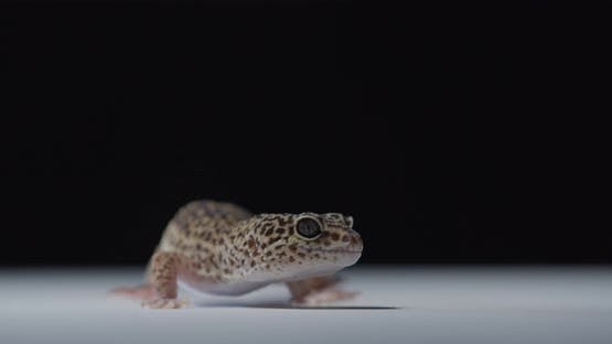 Cute Spotted Gecko is Looking Around and Licking the Floor Reptile