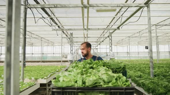 Man Walking with a Cart with Green Salad in a Greenhouse