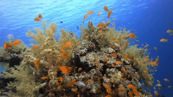 Thumbnail for Brokkoli Weiche Koralle und bunte Fische