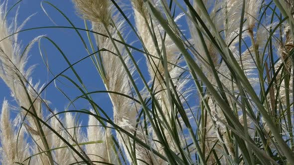 Thumbnail for Shore Grass 13 - Pampas White Feather
