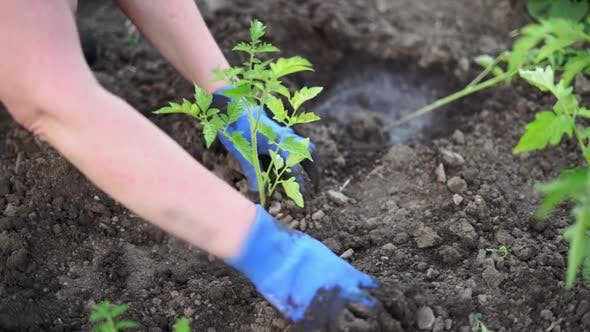 Woman Gardening Tomato Sprouts Into the Soil on Her Backyard Garden. Natural Organic Food