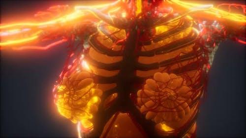3D gerenderte medizinisch genaue Animation von Herz und Blutgefäßen