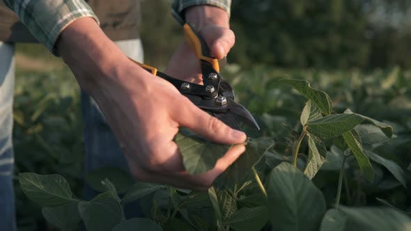 Thumbnail for Farmer in a Soybean Field Cuts off Spoiled Leaves