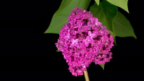 Thumbnail for Beautiful Time Lapse of Opening Violet Flower of Lilac on a Black Background