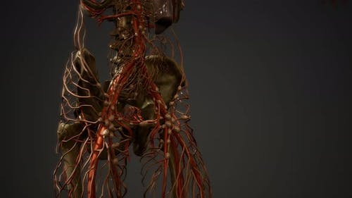 Menschlicher Körper Blutgefäße Anatomie