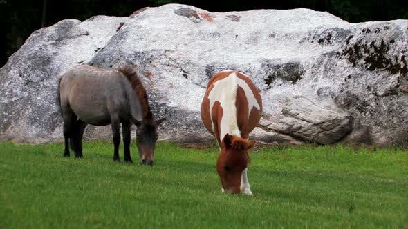 Thumbnail for Two miniature ponies eating grass.