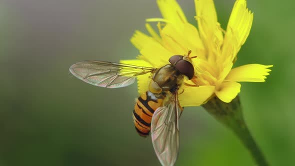 Hoverfly Collects Pollen On A Flower