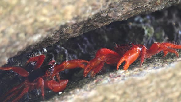 Two Red Crabs Fighting in Cleft on Similan Island