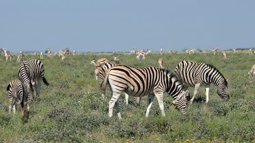 zebra in african bush, Africa wildlife