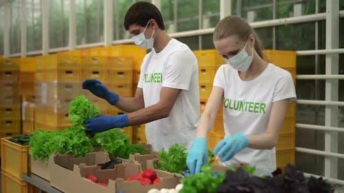 Zwei Freiwillige verpacken frisches Gemüse und arbeiten in Agro Company während der Pandemie Spbd