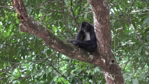 Spider Monkey Alone in Belize Central America