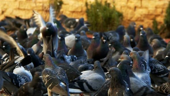 Animal Bird Pigeons 12