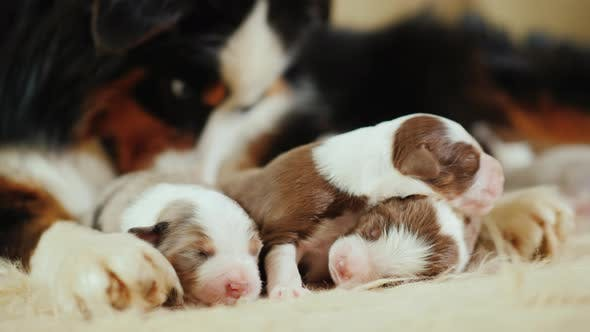 Care for the Offspring - the Dog Gently Licks Its Newborn Puppies