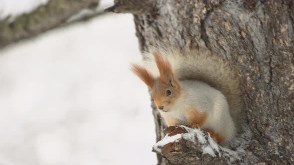 Thumbnail for The Squirrel Sits On A Tree In The Winter Forest