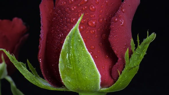 Red Roses with water drops.