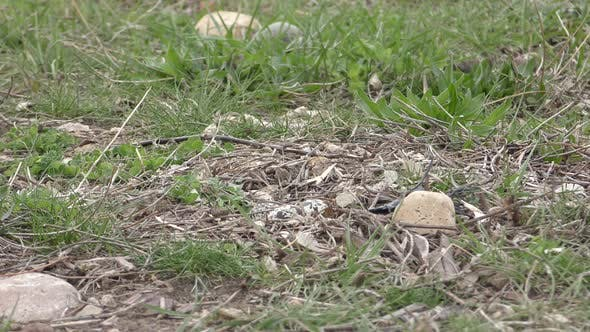 Thumbnail for Killdeer Bird Nesting Incubating Spring Eggs Ground Nest Approaching Sitting