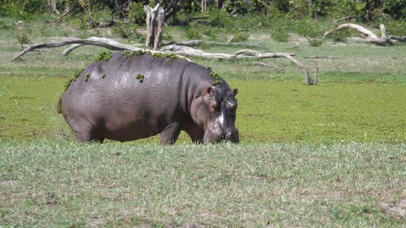 Cover Image for Hippopotamus with duckweed pooping near a lake